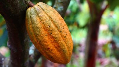 cocoa-1529746_1280
